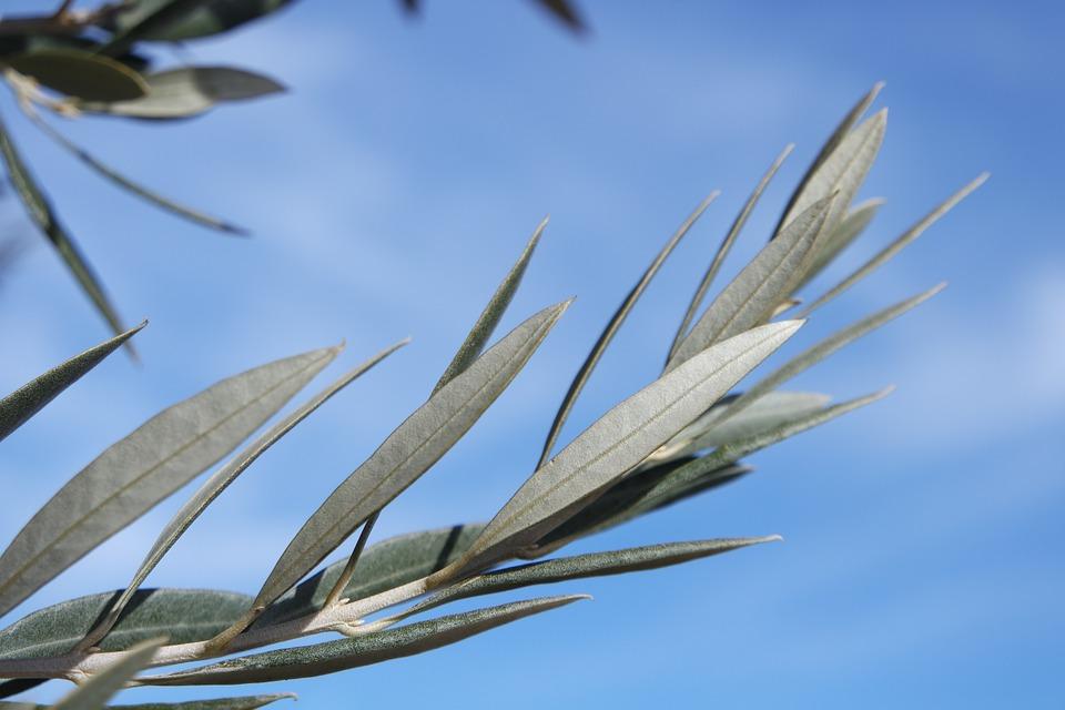 ramas olivo
